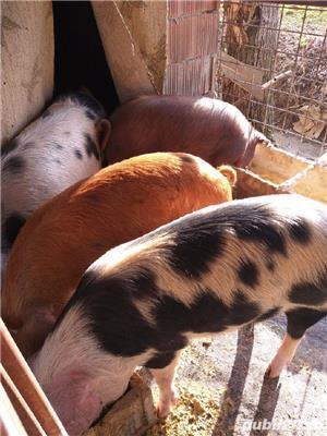 porci grasi - imagine 2
