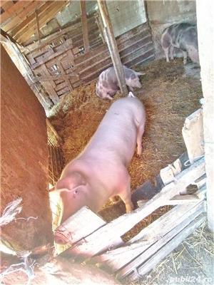 Porci de carne rasa pietrean - imagine 5