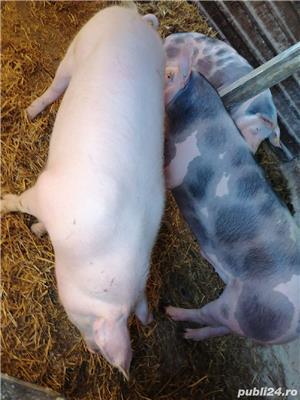 Porci de carne rasa pietrean - imagine 4