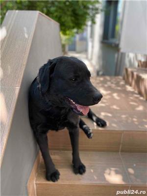 Labrador negru monta - imagine 2