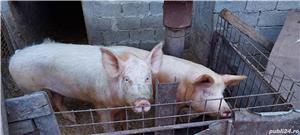 porci de ferma bio - imagine 1