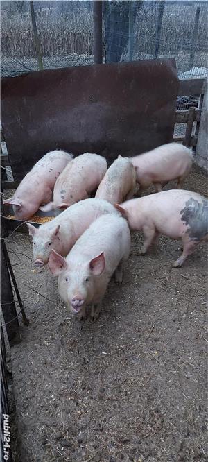 porci de ferma bio - imagine 2