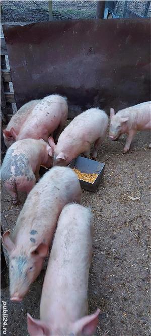 porci de ferma bio - imagine 3