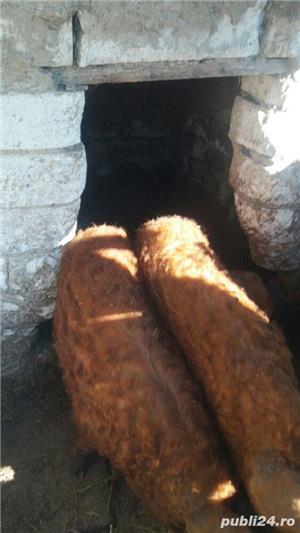 vand porci mangalita  - imagine 1