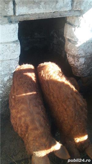 vand porci mangalita  - imagine 2