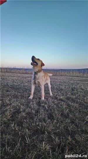 Labrador montă - imagine 3