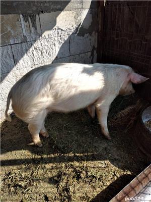 Disponibil porc de 80kg - imagine 1