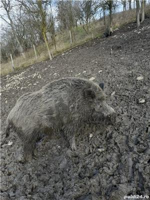 Porci mistreti - imagine 5