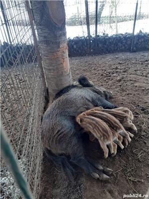 Porci mistreti - imagine 1