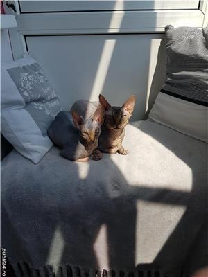 Pisica Sfinx Canadian - imagine 6