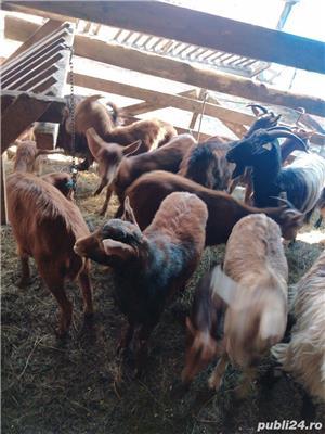 Vând capre - imagine 2