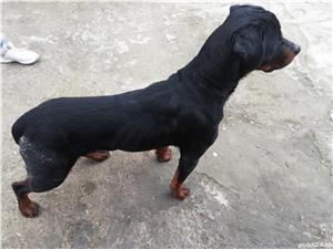 Vând Rottweiler femelă  - imagine 3