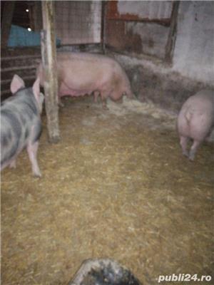 Porci de carne rasa pietrean - imagine 7