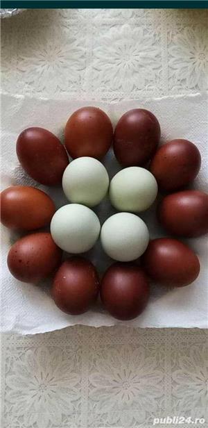 Ouă Marans - imagine 2