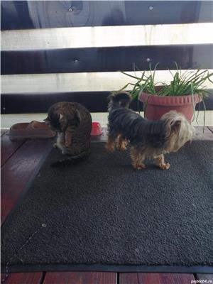 Mascul yorkshier terrier minitoy pentru monta - imagine 1