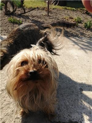 Mascul yorkshier terrier minitoy pentru monta - imagine 7