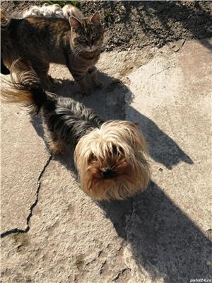 Mascul yorkshier terrier minitoy pentru monta - imagine 5