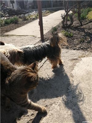 Mascul yorkshier terrier minitoy pentru monta - imagine 6