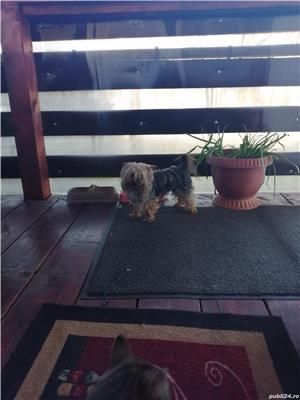 Mascul yorkshier terrier minitoy pentru monta - imagine 3