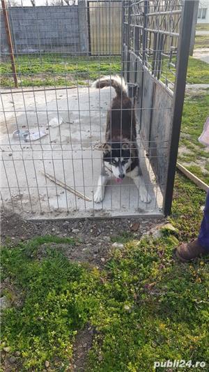 vand câine husky siberian - imagine 7