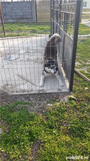 vand câine husky siberian - imagine 6