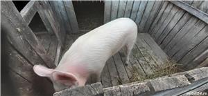 Vand Porc  - imagine 2