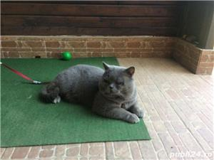 British Shorthair Bleu,de calitate,Felisă!!! - imagine 7
