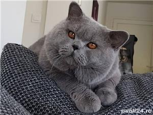 British Shorthair Bleu,de calitate,Felisă!!! - imagine 6