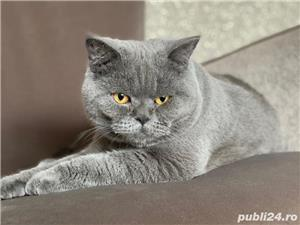 British Shorthair Bleu,de calitate,Felisă!!! - imagine 8