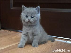 British Shorthair Bleu,de calitate,Felisă!!! - imagine 2