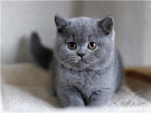 British Shorthair Bleu,de calitate,Felisă!!! - imagine 3