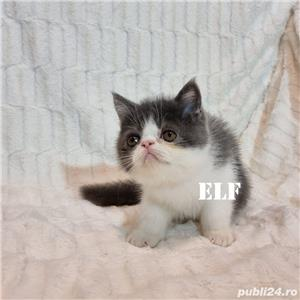 Exotic Shorthair cu pedigree - oferim transport - imagine 6