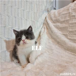Exotic Shorthair cu pedigree - oferim transport - imagine 7