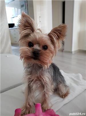 Yorkshire terrier toy.  - imagine 2