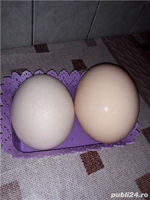 Vand oua de Strut(pentru consum - imagine 3