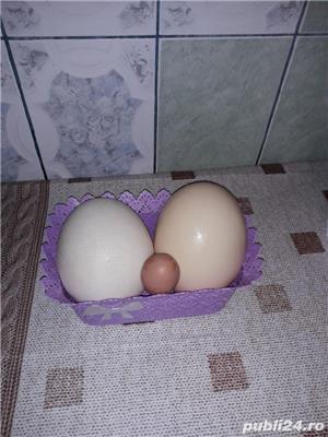 Vand oua de Strut(pentru consum - imagine 2