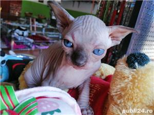 Pisicuțe Sphynx - imagine 6
