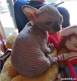 Pisicuțe Sphynx - imagine 4