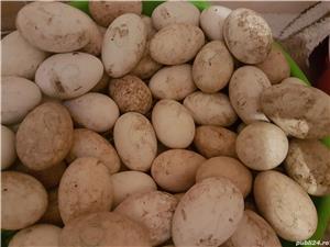 Oua de gâscă  pentru incubat - imagine 1