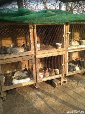 Vând iepuri de rasă și metiși - imagine 1
