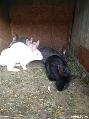Vând iepuri de rasă și metiși - imagine 2