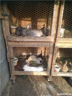 Vând iepuri de rasă și metiși - imagine 3