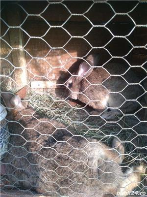 Vând iepuri de rasă și metiși - imagine 5