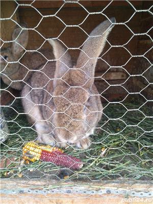Vând iepuri de rasă și metiși - imagine 7