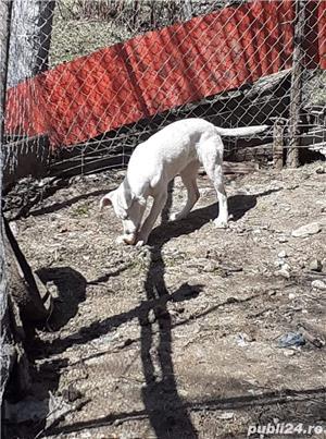 Pui Labrador Retriever încrucișat cu Dog Argentinian  - imagine 5