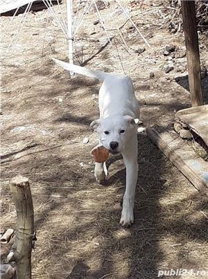 Pui Labrador Retriever încrucișat cu Dog Argentinian  - imagine 6