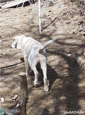 Pui Labrador Retriever încrucișat cu Dog Argentinian  - imagine 3