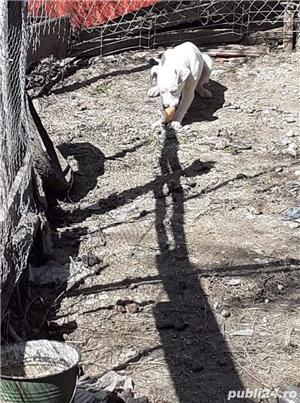 Pui Labrador Retriever încrucișat cu Dog Argentinian  - imagine 4