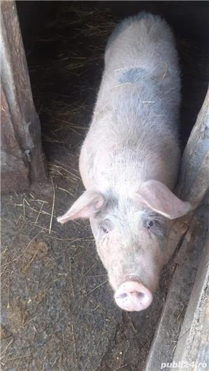 Porc de vanzare - imagine 3