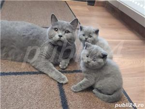British Shorthair Bleu,de calitate,Felisă!!! - imagine 9